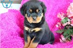 Picture of Sweetheart - Rottweiler Female