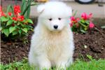 Picture of Gumbi - Samoyed Male
