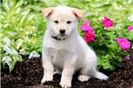 Picture of Violet - Samoyed Mix Female