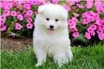 Picture of Sheila - Samoyed Female
