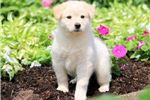 Picture of Victor - Samoyed Mix Male