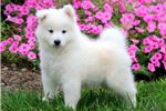 Picture of Trixie - Samoyed Female