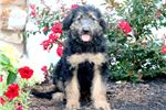 Picture of Darling - Shepadoodle Female