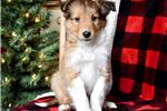 Rudolph - Sheltie Male | Puppy at 9 weeks of age for sale