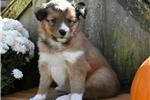 Shetland Sheepdog - Sheltie for sale