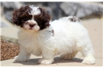 Picture of a Shichon Puppy
