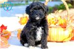 Picture of Cherry - Shihpoo Female