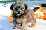 Picture of Champ - Shihpoo Male