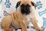Picture of Bentley - Boerboel Male