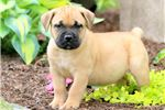 Picture of Tulip - Boerboel Female