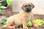 Picture of Tinkerbell - Boerboel Female