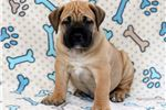 Picture of Buck - Boerboel Male