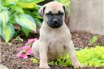 Picture of Tootsie - Boerboel Female