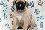 Picture of Bruno - Boerboel Male