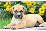Picture of Spike - Boerboel Male