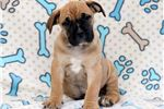 Picture of Bubbles - Boerboel Male