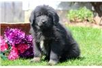 Picture of Heaven - Tibetan Mastiff Female