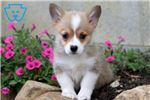 Picture of Hillary - Welsh Corgi Female