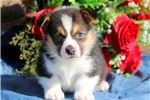 Lee - Welsh Corgi Male | Puppy at 9 weeks of age for sale