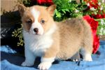 Liberty - Welsh Corgi Female | Puppy at 9 weeks of age for sale
