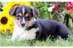 Misty - Welsh Corgi Female | Puppy at 7 weeks of age for sale