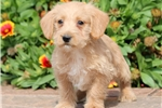 Picture of Mickey - Westiepoo Male