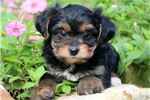 Picture of Melody - Yorkiepoo Female