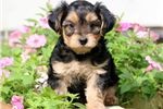 Picture of Marvey - Yorkiepoo Male