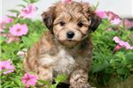 Picture of Mickey - Yorkiepoo Male