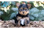 Yorkshire Terrier - Yorkie Puppies for Sale from