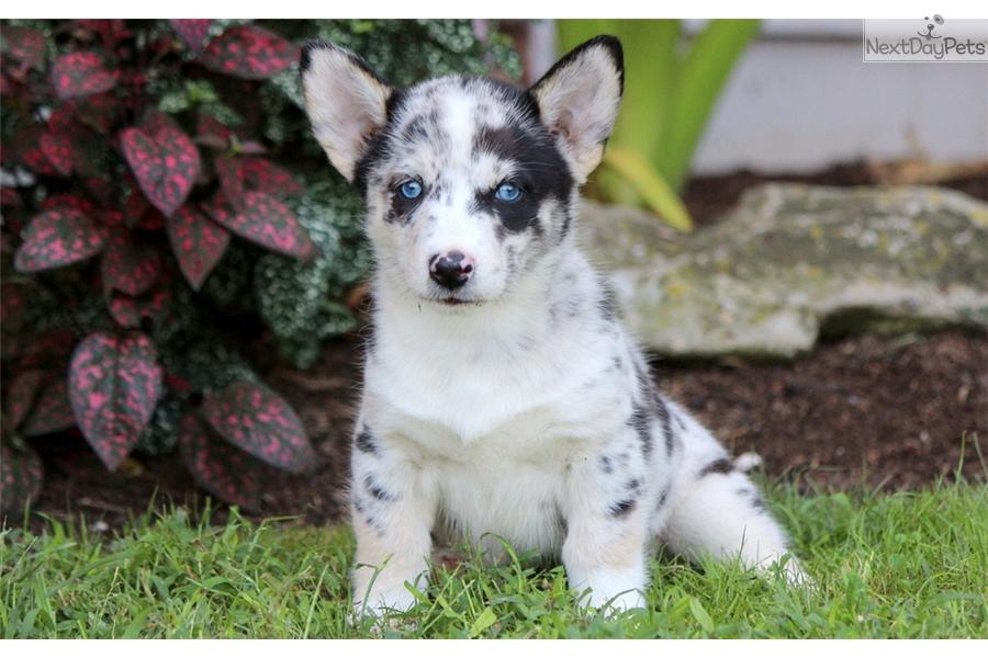 Star: Welsh Corgi, Pembroke puppy for sale near Lancaster