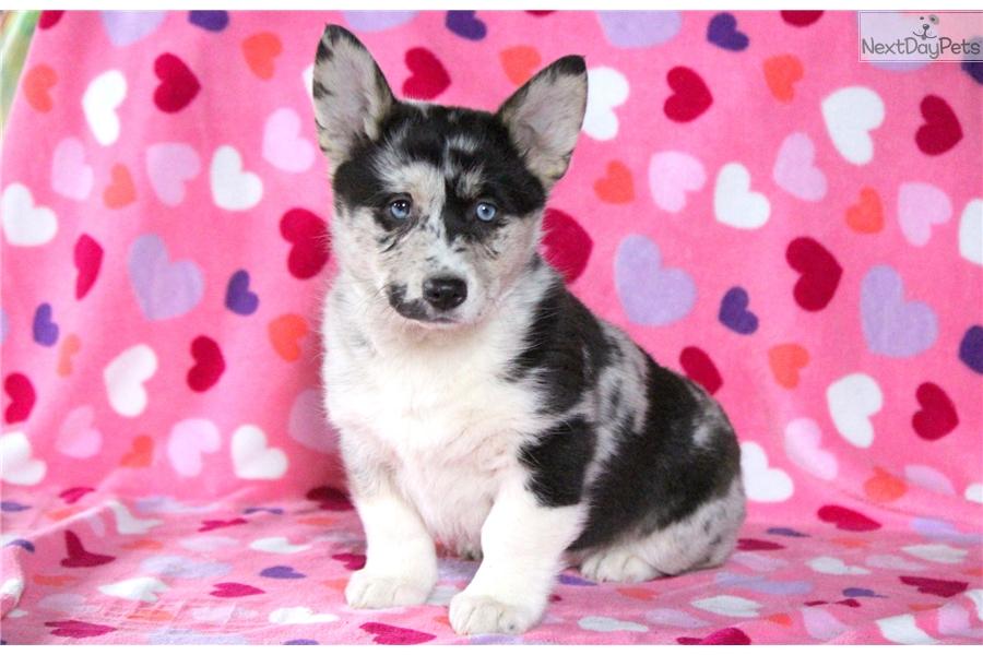 Arielle: Welsh Corgi, Pembroke puppy for sale near Lancaster