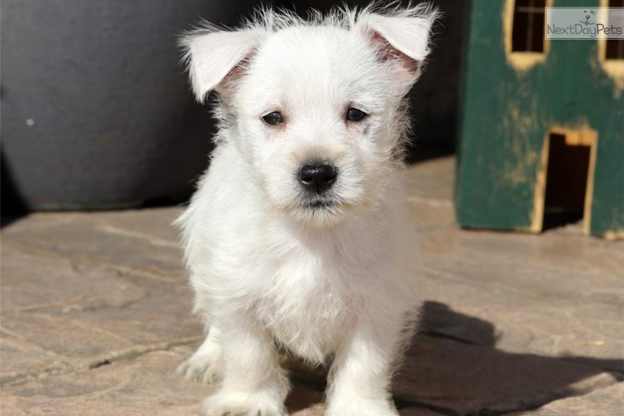 Marie: West Highland White Terrier - Westie puppy for sale near Pennsylvania USA