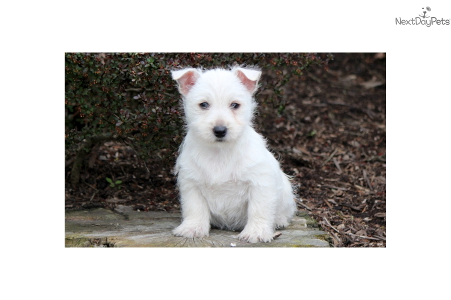 west highland terrier for sale near me west highland white terrier westie puppy for sale near 339