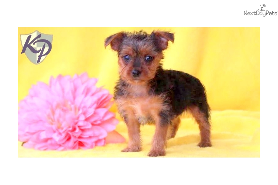 yorkie poo puppies for sale in pa yorkie poo pups for sale in lancaster pa 3940