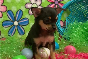 Molly - Chihuahua for sale