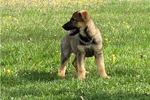 Saraya - German Shepherd for sale
