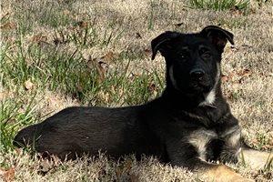 Jordan - German Shepherd for sale