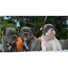 View full profile for Gulf Coast French Bulldogs
