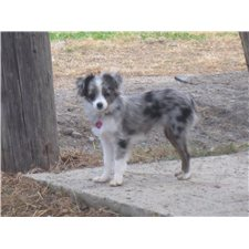View full profile for Applewood Toy Aussies
