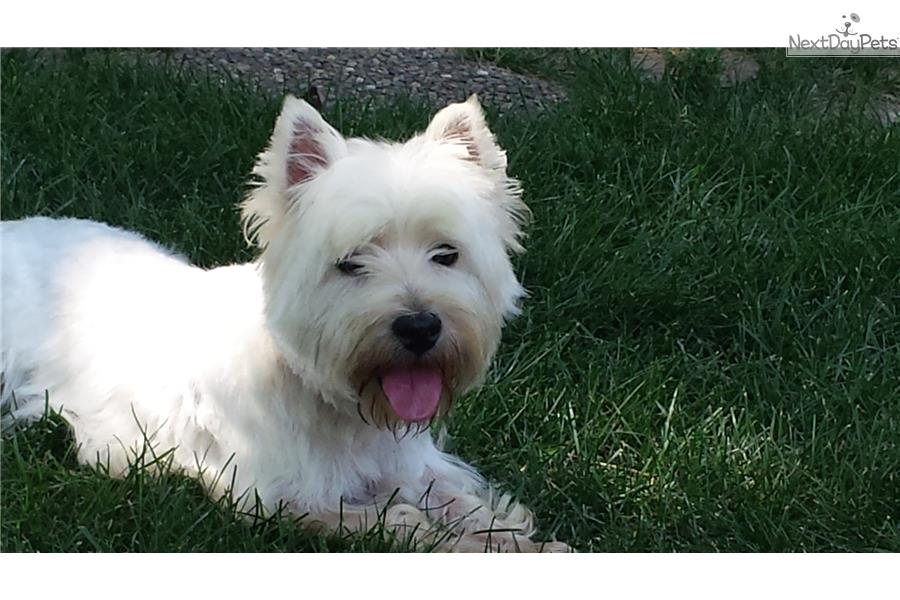 west highland terrier for sale near me akc westie puppy west highland white terrier westie 5130