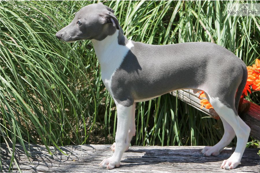 Italian Greyhound Puppy For Sale Near Dallas Fort Worth Texas F662056a 65b1