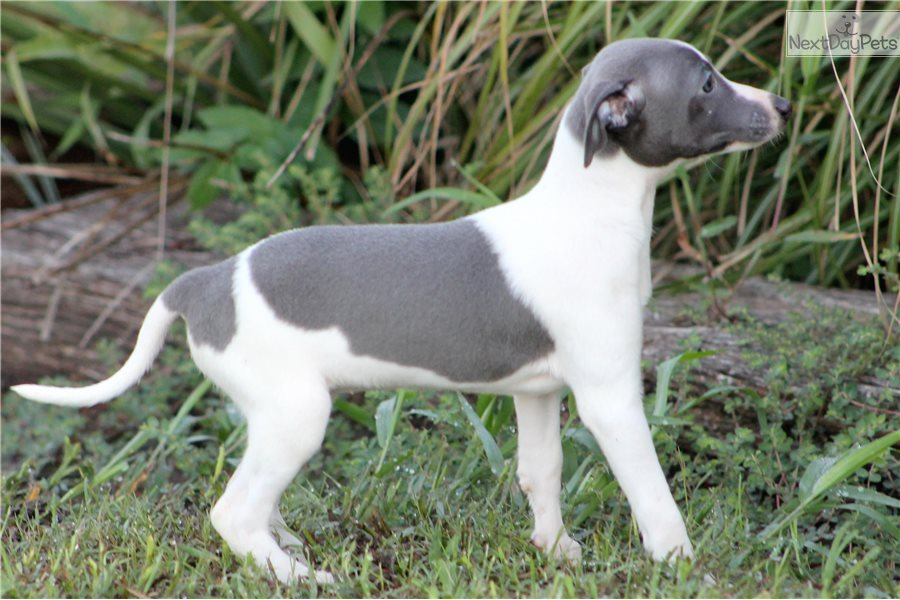 Zeva Italian Greyhound Puppy For Sale Near Dallas Fort Worth Texas 1ba64e28 19f1