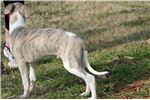 Picture of GAGE-BEAUTIFUL BOY-AKC