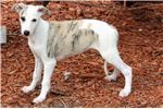 Picture of SYD-BEAUTIFUL AKC GIRL