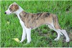 Picture of RANCE-HANDSOME AKC BOY