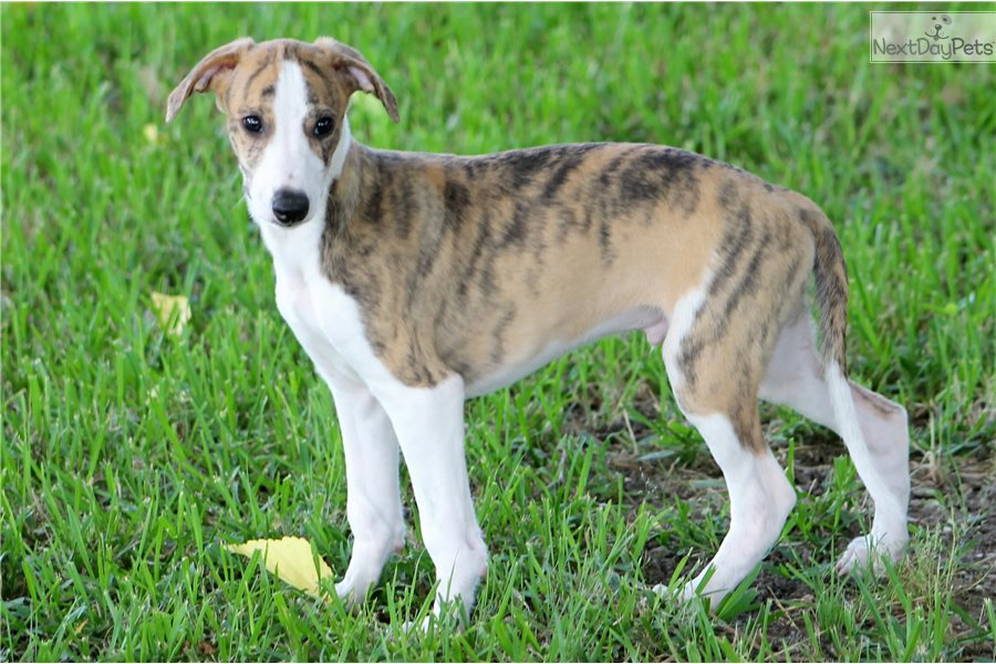 Whippet Puppies For Sale Near Me In Wisconsin USA