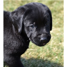 View full profile for Wagon Creek Labradors