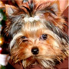 View full profile for Chantailly Lace Yorkshire Terriers