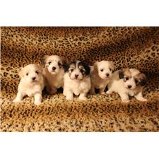 View full profile for Coton Pups